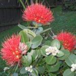 INT-27: Pua ʻĀhihi