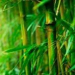 ADV-22: Sweet Singing Bamboo