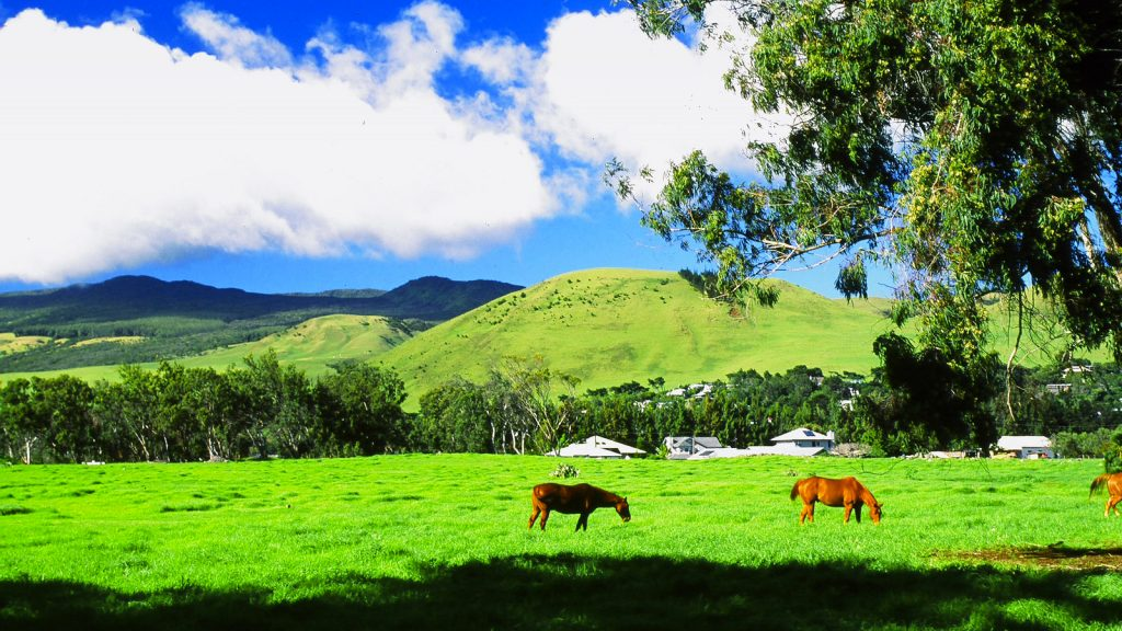 some horses pictured grazing in Waimea