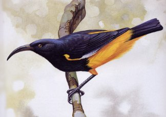 An image of a mamo bird on a small branch